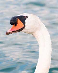 Swan, Lake Ontario